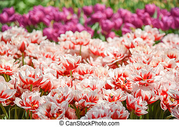 Red-white tulips in the garden