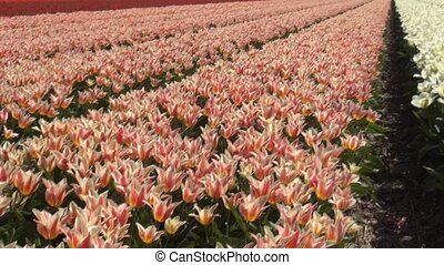 Red-White tulips on the fields - Tulip (Tulipa) is a genus...