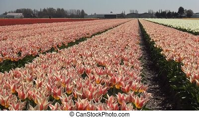 Red-White Tulips - Tulip (Tulipa) is a genus of...
