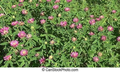 red wild clover background