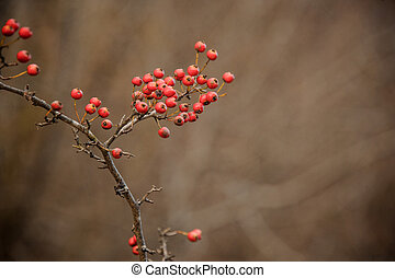 Red wild hawthorn berries on the branches in the forest