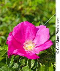 Red wild rose in the forest