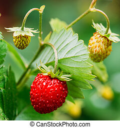 Red Wild Strawberries, Wild Strawberry. Growing Organic Wild Str