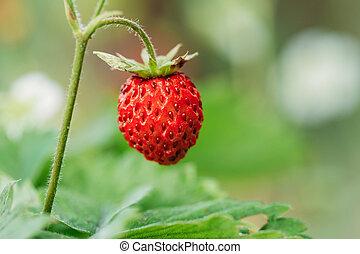 Red Wild Strawberries, Wild Strawberry. Growing Organic Wild Strawberry.