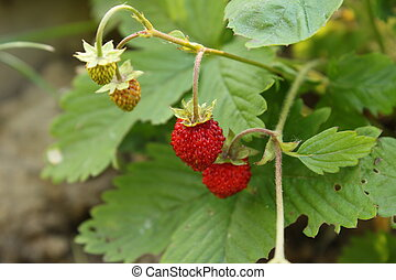red wildstrawberry in a garden - Stock Image