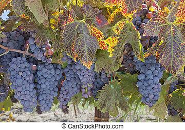 Red varietal wine grape clusters, on the vine, Autumn harvest time, California vinyards.