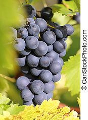 Red wine grapes on a vineyard in autumn