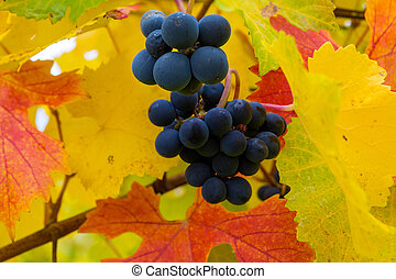 Red Wine Grapes on Grapevine in Fall