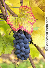 Red Wine Grapes on Vine Closeup