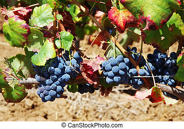 Red wine grapes on vine, green and red leaves
