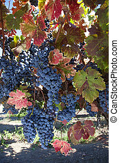 Red Wine Grapes on Vine