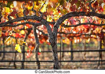 Red Wine Vine