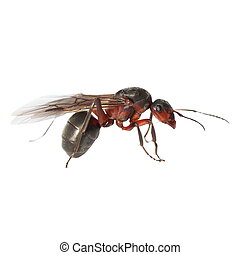 Red winged ant isolated on white background, with clipping...