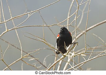 A red winged blackbird is perched on a small branch in Hauser, Idaho.