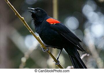 red winged black bird sings - red wings black bird sings