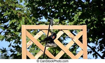Red-winged Blackbird (Agelaius phoeniceus) on a backyard...