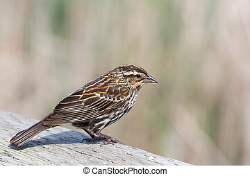 Red-winged Blackbird Female, spring in BC Canada