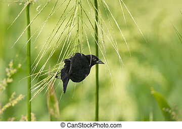 Red-Winged Blackbird Hanging