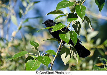 Red-Winged Blackbird Hiding in a Tree