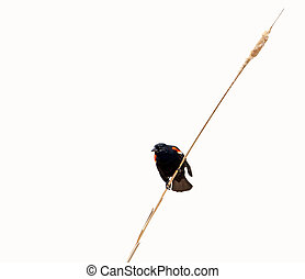 Red winged blackbird, isolated. - A beautiful male red ...