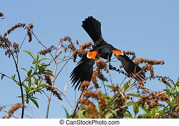Red-winged Blackbird Male Open Wings