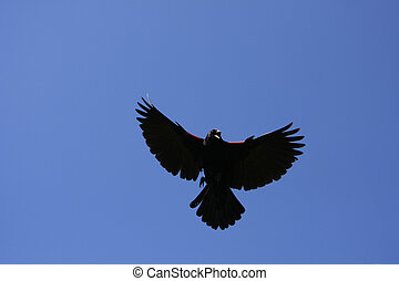 Red-winged Blackbird Male Sky Background