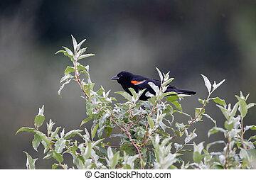 Red Winged Blackbird on a Bush