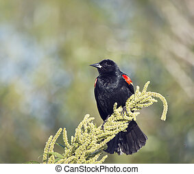 Red-Winged Blackbird on a plant