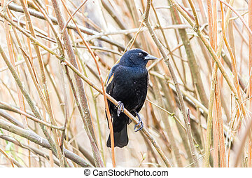 Red-winged Blackbird on a tree