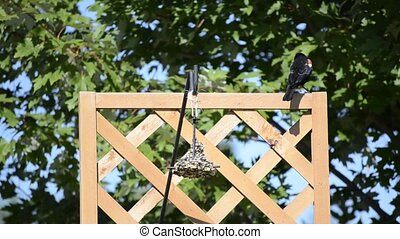 Red-winged Blackbird on a trellis - Red-winged Blackbird...