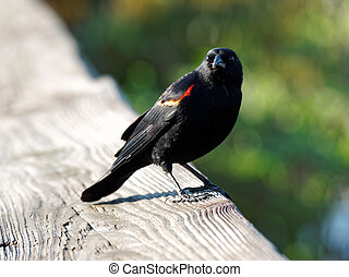 Red-Winged Blackbird on Fence