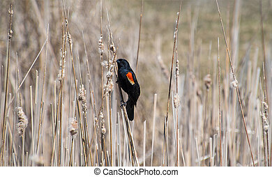 red winged blackbird on weed