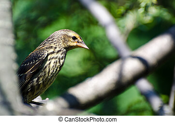 Red Winged Blackbird Perched in a Tree