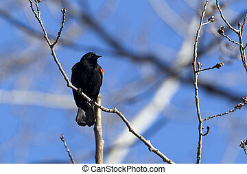 Red winged blackbird perched in tree.