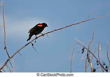 Red-Winged Blackbird Perched on a Branch