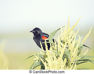 Red-Winged Blackbird perches - Red-Winged Blackbird on a ...