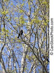 Red-Winged Blackbird - Red-winged backbird (Agelaius ...