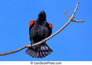 Red-winged blackbird sitting in a tree