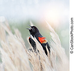 Red Winged Blackbird Sitting On Grass