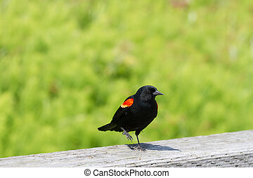 Red-winged Blackbird , spring in BC Canada