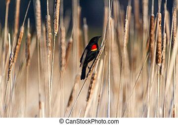 red winged blackbird standing on Cattail