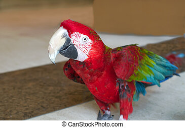 Red winged macaw, colourful bird