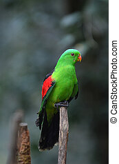 Red Winged Parrot (Aprosmictus erythropterus), is a parrot ...