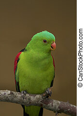 Red winged parrot close up image
