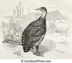 Red-winged Tinamou old illustration (Rhynchotus rufescens). ...
