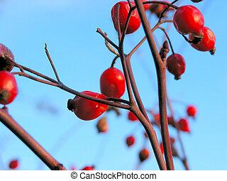 Red winter berries 1