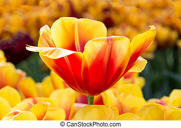 Red with yellow tulip in flowers field