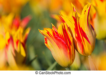 Red with yellow tulips in a field