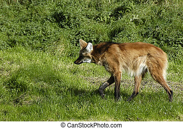 A red wolf walking in the grass stalking
