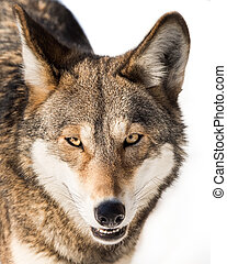Red Wolf in Snow IV